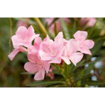 Nerium oleander Simple pink, rózsaszín Leander
