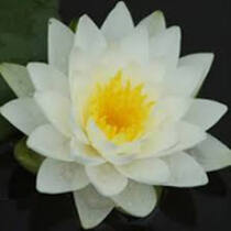 Nymphaea Perry's Double White
