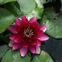Nymphaea perry's baby red mini tavirózsa