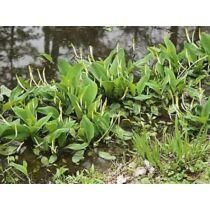 Oronthium aquaticum - Vízi kontyvirág - kerti tavi növény