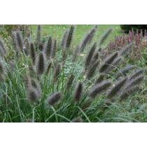 Pennisetum alupecuroides 'Black Beauty' Tollborzfű
