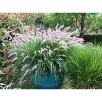 Pennisetum orientale 'Fairy Tails'keleti tollborzfű