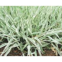 Phalaris arundinacea var. picta - Csíkos zöld pántlikafű - Kerti tavi növény