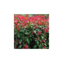 Photinia 'Carre Rouge' 5 literes cserépben