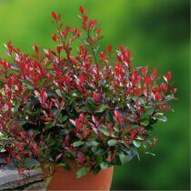 Photinia 'Red Robin' Korallberkenye