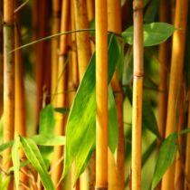 Phyllostachys 'Aurea', Bambusz