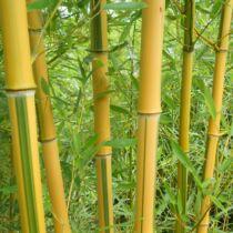Phyllostachys aureosulcata 'Spectabilis', Bambusz