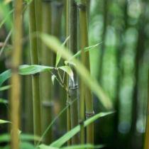 Phyllostachys bissetii, Bambusz