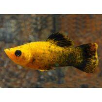 Arany-fekete molly - Poecilia sphenops