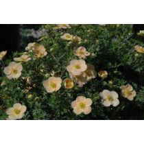 Potentilla fruticosa 'Daydawn' lazacrózsaszín virágú cserjés pimpó