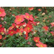 Potentilla fruticosa Marian Red Robin - Cserjés pimpó