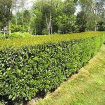 Prunus lusitanica 'Angustifolia' – Portugál babérmeggy