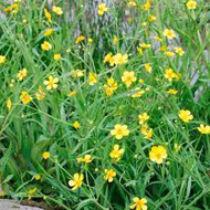 Ranunculus flammula - békaboglárka kerti tavi növény