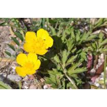 Ranunculus repens Kúszó boglárka - kerti tavi növény