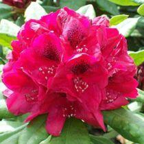 Rhododendron 'Lord Roberts'  Sötétpiros Örökzöld havasszépe