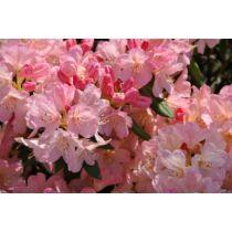 Rhododendron yakushimanum 'Percy Wisemann'