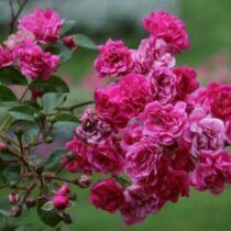 Rosa 'Lovely Fairy'