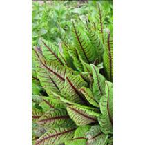 Rumex sanderiana - Vérsóska kerti tavi növény