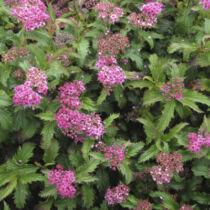 Spiraea japonica Crispa – japán gyöngyvessző