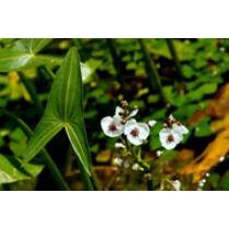 Sagittaria japonika - Közönséges nyílfű kerti tavi növény