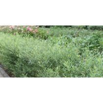 Salix purpurea 'Nana' – Törpe csigolyafűz