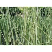 Scirpus lacustris albescens hosszanti csíkos csetkáka
