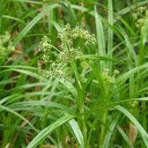 Scirpus sylvaticus -  közönséges erdeikáka kerti tavi növény