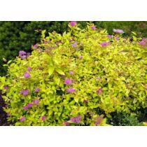 Spiraea japonica 'Golden Princess' - Aranylevelű japán gyöngyvessző