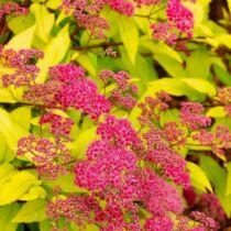 Spiraea japonica 'Goldflame' – japán gyöngyvessző