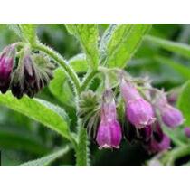 Symphytum Officinale - Fekete nadálytő kerti tavi növény
