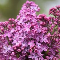 Syringa vulgaris Ametist – Szimpla, kékeslila orgona bokor