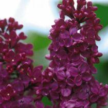 Syringa vulgaris 'Charles Joly' Liláskék orgona