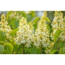 Syringa vulgaris 'Primrose' Sárga orgona