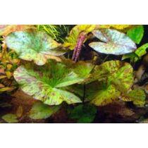 Tigerlotus zöld akváriumi növény