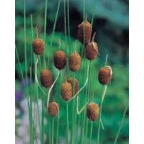 Typha minima - törpegyékény kerti tavi növény
