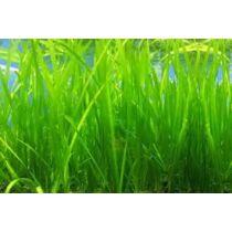 Vallisneria akváriumi növény