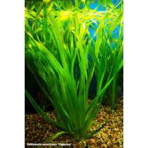 Vallisneria americana (gigantea) akváriumi növény