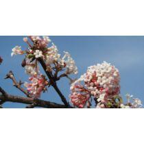Viburnum  bodnantense - Kikeleti bangita
