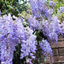 Wisteria sinensis 'Blue Sapphire', Lilaakác oltvány, Liláskék virágú