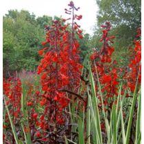 """Lobelia cardinalis """"Queen victoria"""" - Tűzpiros mocsári lobélia - Kerti tavi növény"""