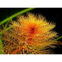 Myriophyllum tuberculatum (hidegebb hónapokban korlátozottan érhető el)