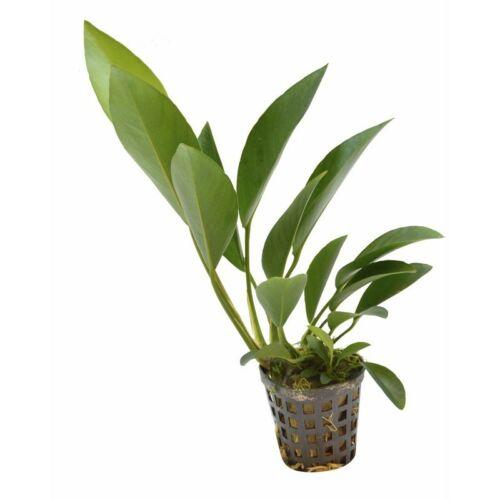 Anubias congensis akváriumi növény