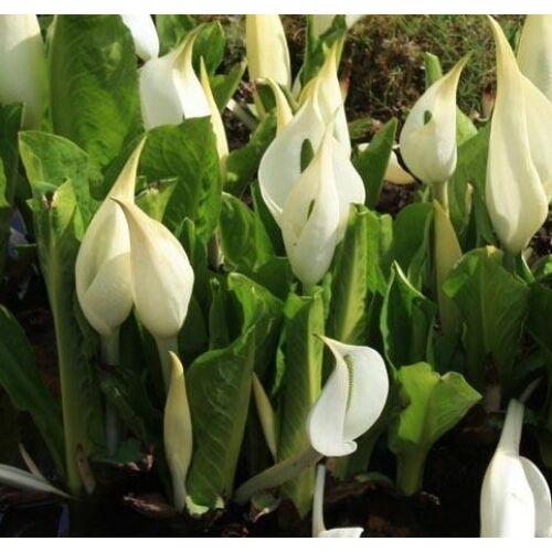 Lysichiton camtschatcensis - Vízi lámpás vagy káposztavirág - kerti tavi növény