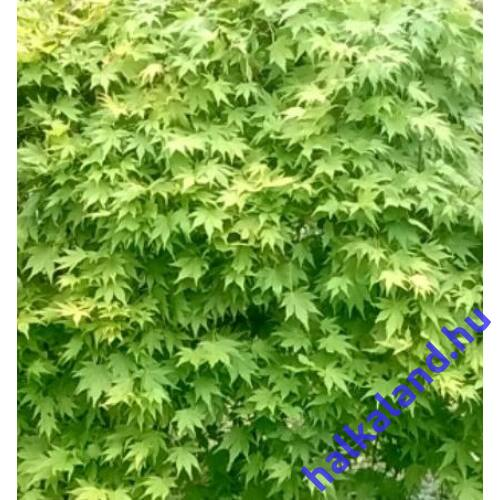 Acer palmatum Going Green - Japán juhar 180-200cm magas
