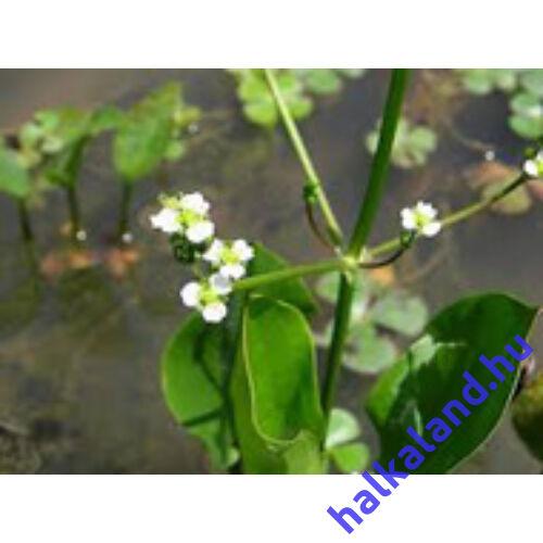 Alisma Plantago Aquatica - hídőr kerti tavi növény