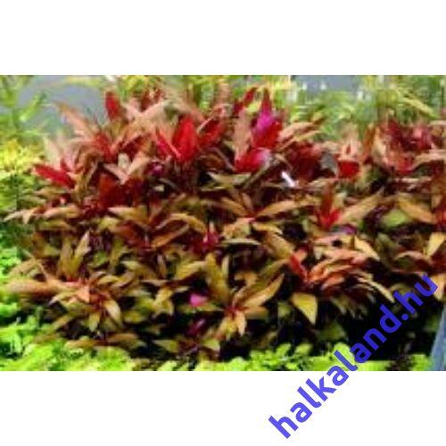 Alternanthera Roseafolia akváriumi növény