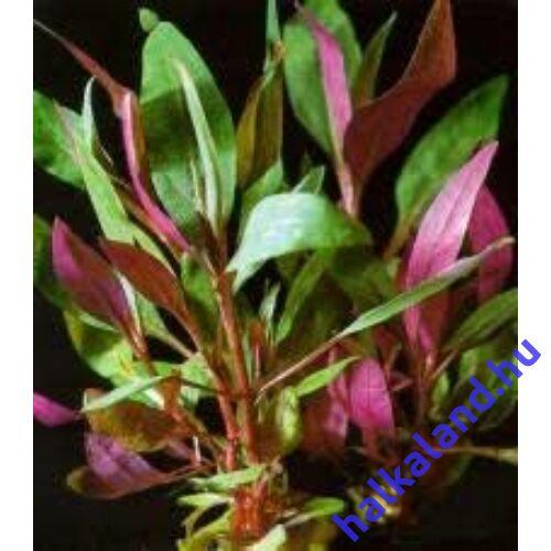 Alternanthera reineckii 'Purple' (lilacina) akváriumi növény