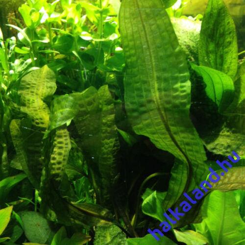 Aponogeton Boivianus akváriumi növény