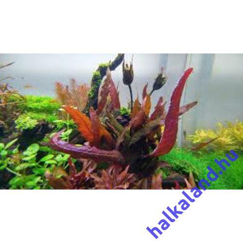 Barclaya longifolia red bulb akváriumi növény