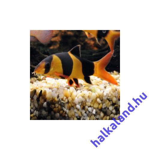 Botia macracantha csigaevő hal